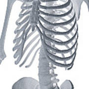 Bones Of The Torso Poster