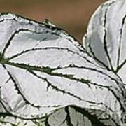 Caladium Named White Christmas Poster