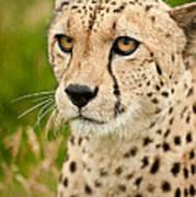 Cheetah Acinonyx Jubatus Big Cat  Poster