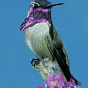 Costas Hummingbird Poster