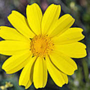 Crown Daisy Flower Poster