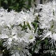 Dianthus Superbus - White Poster