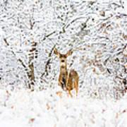 Doe Mule Deer In Snow Poster