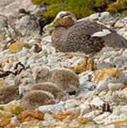 Falkland Steamerduck Poster