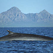 Fin Whale In Sea Of Cortez Poster