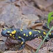 Fire Salamander Poster