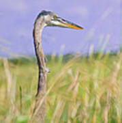 Great Blue Heron On The Prairie Poster