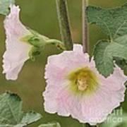 Hollyhock Named Indian Spring Pink Poster