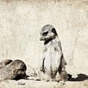 Meerkatz Poster