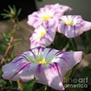 Morning Glory Named Pink Ensign Poster