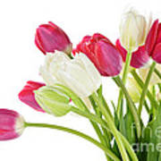 Red And White Tulips Poster