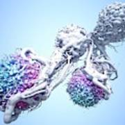 T Cells Attacking Cancer Cells Poster