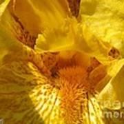 Tall Bearded Iris Named Saharan Sun Poster