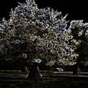 Tree With Large White Flowers Poster