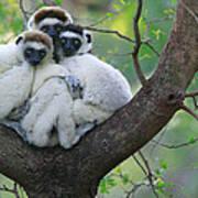 Verreauxs Sifakas Cuddling Poster