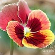 Viola Named Penny Red Blotch Poster
