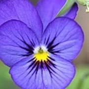 Viola Named Sorbet Blue Heaven Jump-up Poster
