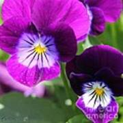 Viola Named Sorbet Plum Velvet Jump-up Poster