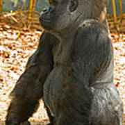 Western Lowland Gorilla Male Poster