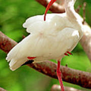 White Ibis Eudocimus Albus Poster