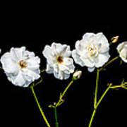 5 White Roses On Black Poster