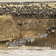 Wildebeests Crossing Mara River, Kenya Poster