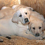 Yellow Labrador Retriever Puppies Poster by Linda Freshwaters Arndt