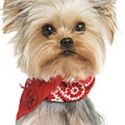 Yorkshire Terrier Dog Poster