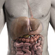 The Digestive System Poster