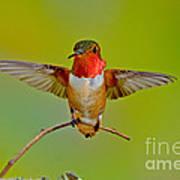 Allens Hummingbird Poster