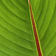 Banana Leaf Poster