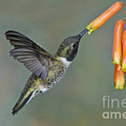 Black-chinned Hummingbird Poster