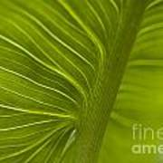 Calla Lily Stem Close Up Poster