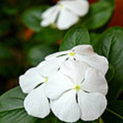 Catharanthus Roseus Poster