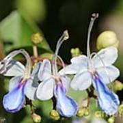 Clerodendrum Ugandense Or Blue Butterfly Bush Poster