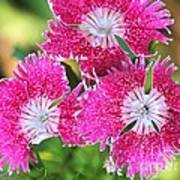 Dianthus Cross Poster