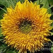 Dwarf Sunflower Named Teddy Bear Poster