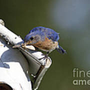 Eastern Bluebird Poster by Linda Freshwaters Arndt