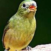 Female Painted Bunting Poster