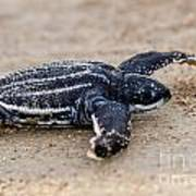 Leatherback Sea Turtle Hatchling Amelia Island Florida Poster