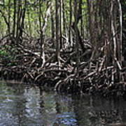 Mangrove Forest In Los Haitises National Park Dominican Republic Poster