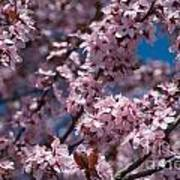 Plum Tree Flowers Poster
