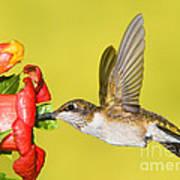 Ruby-throated Hummingbird Female Poster