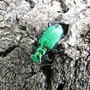 6 Spotted Tiger Beetle Poster