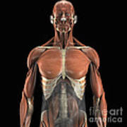 The Psoas Muscles Poster