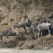 Wildebeests Crossing Mara River, Kenya Poster