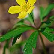 Yellow Wood Anemone Poster