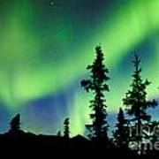 Yukon Taiga Spruce Northern Lights Aurora Borealis Poster