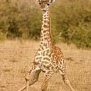 6310 Baby Masai Giraffe Getting Up Poster