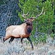 Elk Poster